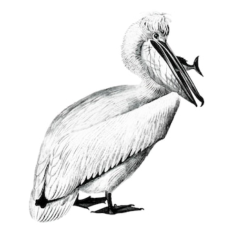 Vintage illustraties van pelican