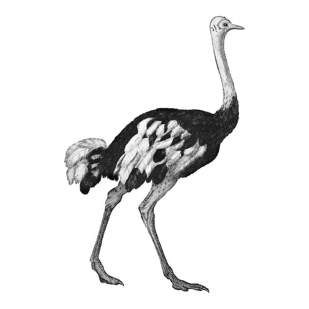 Vintage illustraties van struisvogel
