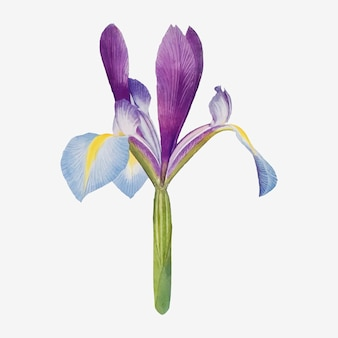 Vintage iris bloem illustratie vector