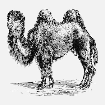 Vintage kameel illustratie