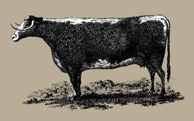 Vintage koe illustratie