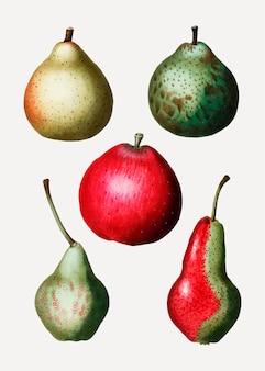 Vintage peren fruit tekening