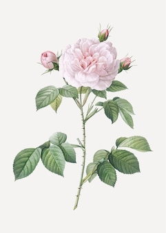 Vintage rosa alba poster
