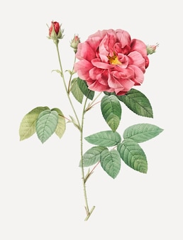 Vintage rosa gallica poster