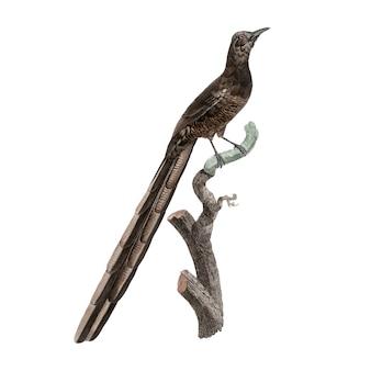 Vintage vogel illustratie