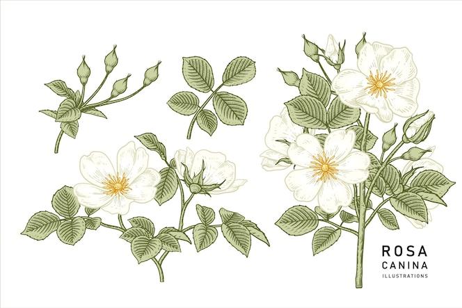 Vintage white dog rose (rosa canina) bloemtekeningen.