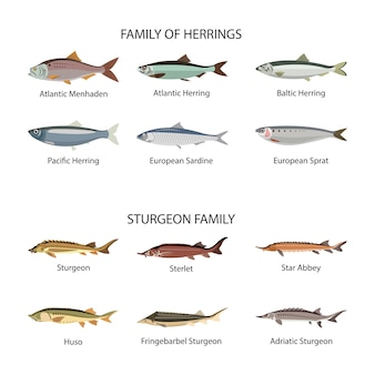 Vis vector set in vlakke stijl ontwerp. haring en steur vissen. collectie van vissen uit de zee, zee en rivier. geïsoleerd