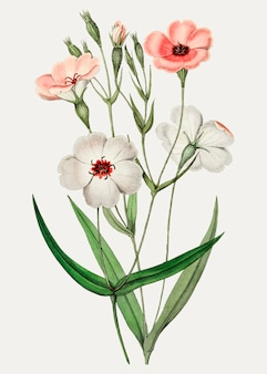 Viscaria-bloem