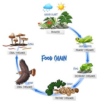 Voedselketen diagram concept
