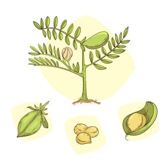 Voedzame kikkererwtenbonen en plant