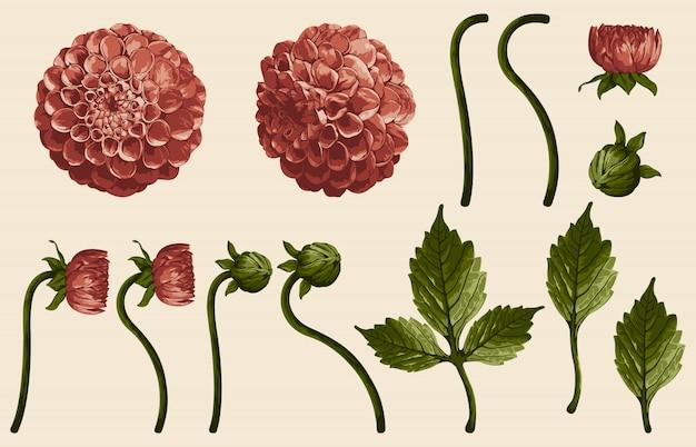 Volledig bewerkbare vector illustratie van dahlia illustraties sets.