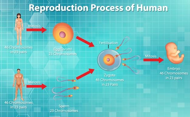Voortplantingsproces van de mens