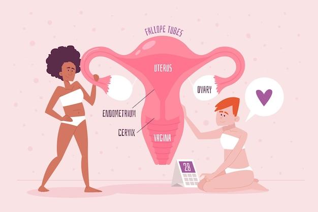 Vrouwelijk reproductief systeemconcept gedetailleerd