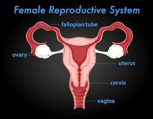 Vrouwelijk reproductief systeemdiagram