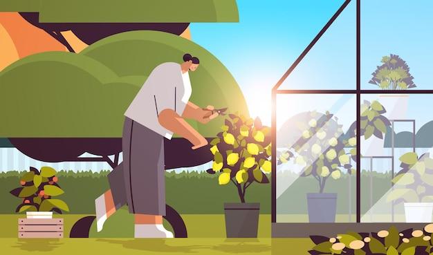 Vrouwelijke tuinman die voor ingemaakte citroenplant zorgt bij achtertuinkas of huistuin