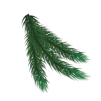 Vuren tak. kerstboom. fir branch op een afgelegen witte achtergrond.