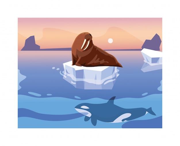 Walrus op een ijsschots drijven