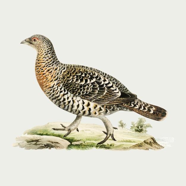 Westerse auerhoen vogel in hand getrokken stijl