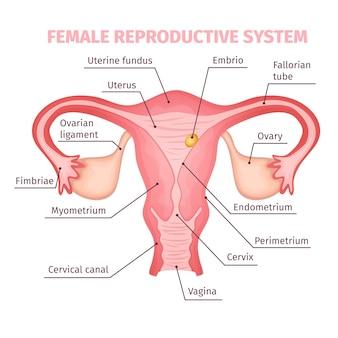 Wetenschappelijk vrouwelijk voortplantingssysteem