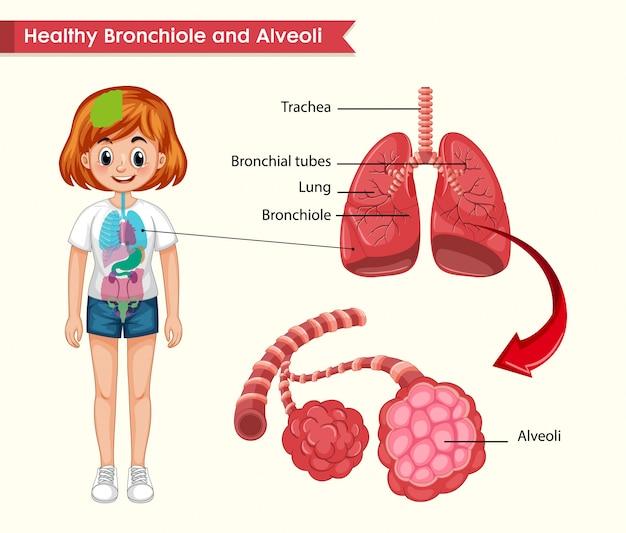 Wetenschappelijke medische illustratie van de anatomie van de gezonde longen