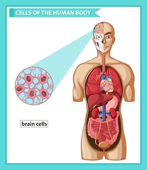 Wetenschappelijke medische illustratie van hersencellen