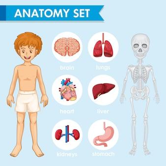 Wetenschappelijke medische illustratie van humn anatomie