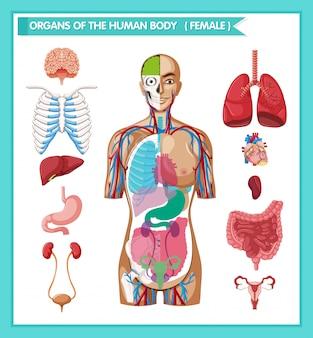 Wetenschappelijke medische illustratie van menselijke antomie