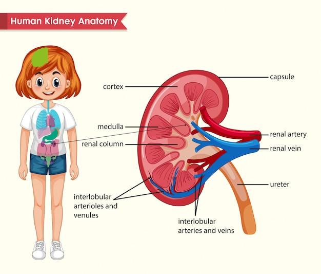 Wetenschappelijke medische illustratie van nieranatomie