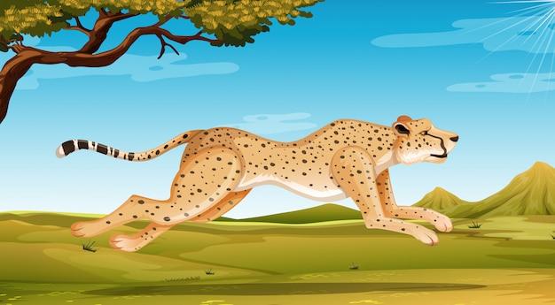 Wilde jachtluipaard die op het gebied in dagtijd loopt