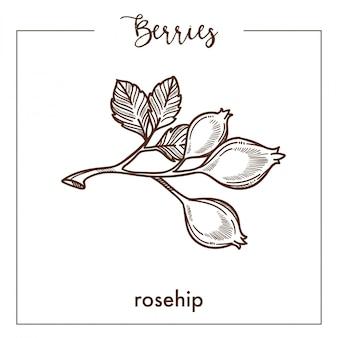 Wilde rozebottelbessen op tak zwart-wit sepia schets