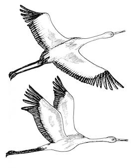 Wilde vogels tijdens de vlucht. dieren in de natuur of in de lucht. kranen of grus en ooievaar of sjadoef en ciconia met vleugels. gegraveerde schets hand getrokken in vintage stijl.