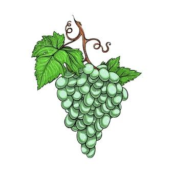 Witte druiven tak geïsoleerd op wit
