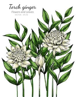 Witte fakkel gember bloem en blad tekening illustratie met lijntekeningen op wit.