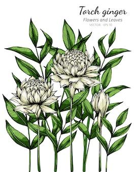 Witte fakkel gember bloem en blad tekening illustratie met lijntekeningen op wit