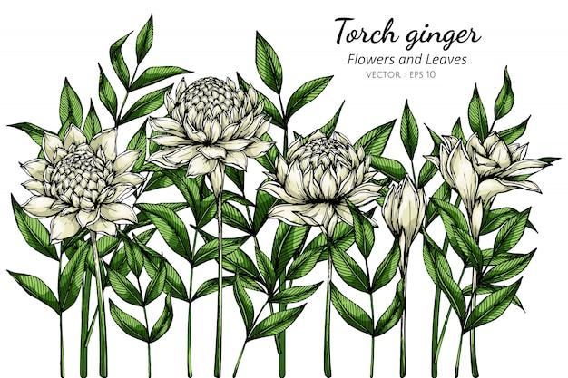 Witte fakkel gember bloem en blad tekening illustratie met lijntekeningen op witte achtergronden.