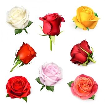 Witte roos, illustratie