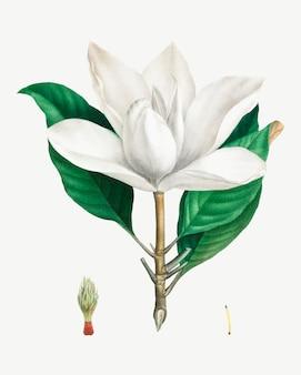 Witte zuidelijke magnolia