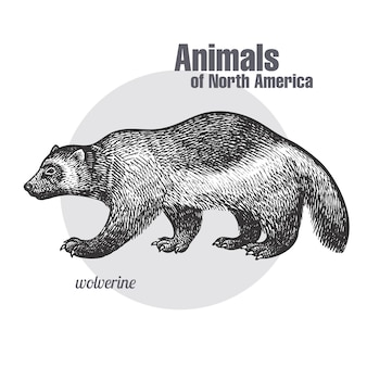 Wolverine. animals of north america-serie.