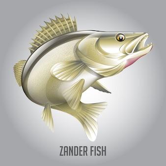 Zander fish vector illustration