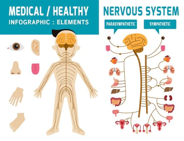 Zenuwstelsel. sympathisch systeem, parasympathisch systeem infographic element