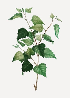 Zilverberkplant
