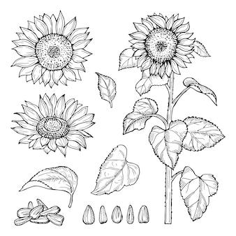 Zonnebloem schets. zaden, bloeiende bloemen collectie