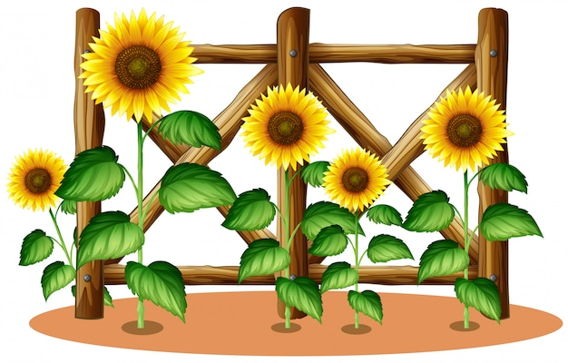 Zonnebloemen en houten hek