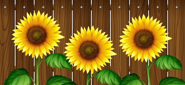 Zonnebloemen voor houten hek