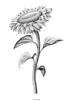 Zonnebloemhand die zwart-witte wijnoogst trekken die op witte achtergrond wordt geïsoleerd
