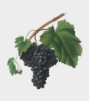 Zwarte canaiolo-druiven van de illustratie van pomona italiana